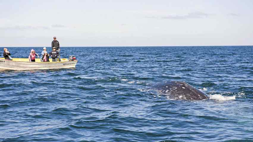 Get close to grey whales in the Baja peninsula.