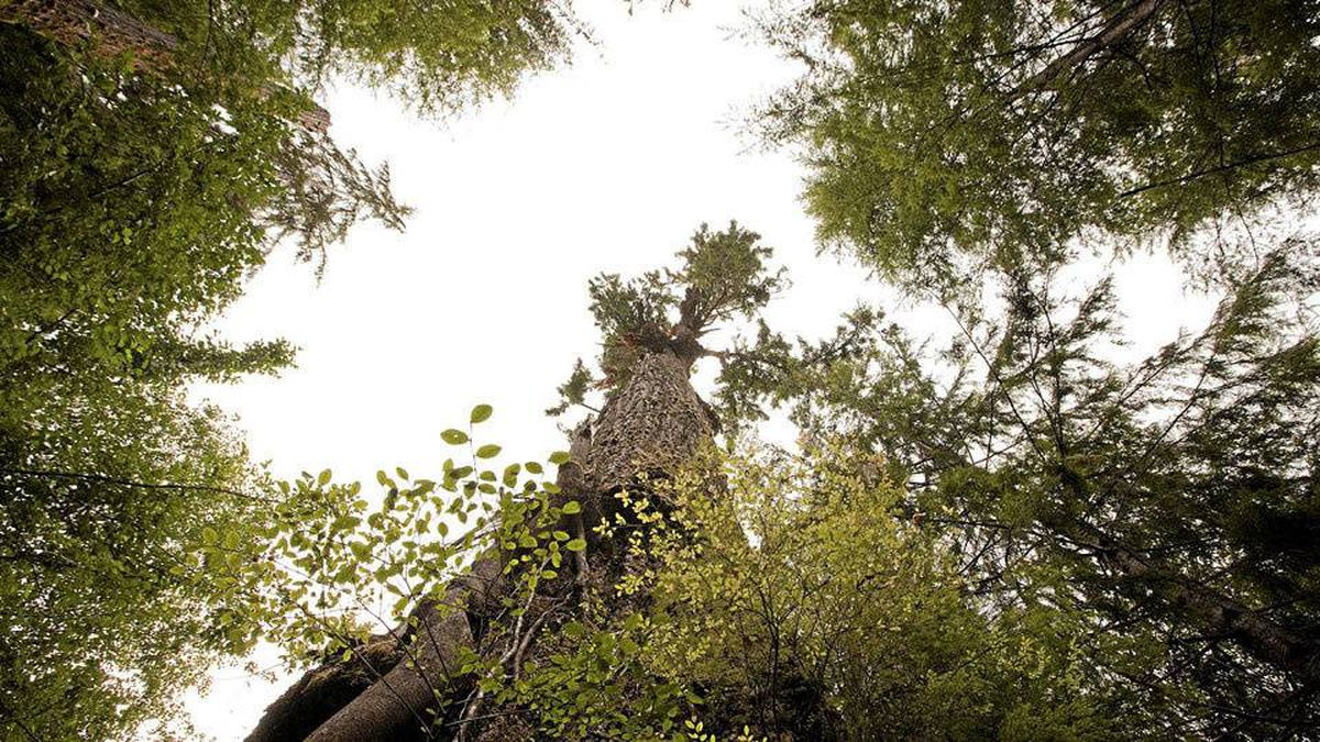 The Red Creek Fir, the biggest Douglas-fir tree in the world. San Juan River Valley B.C. August 29, 2010.
