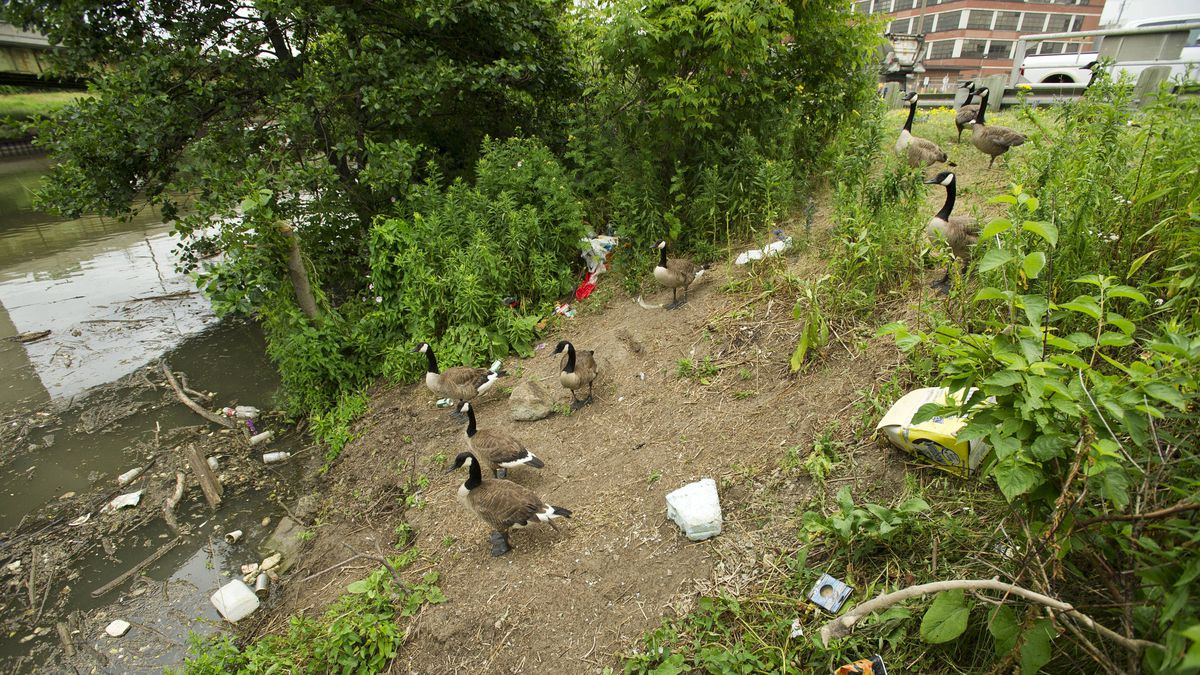 Canda Geese negotiate a garbage strewn river bank on the Lower Don River in Toronto, Ont. July 7, 2011.