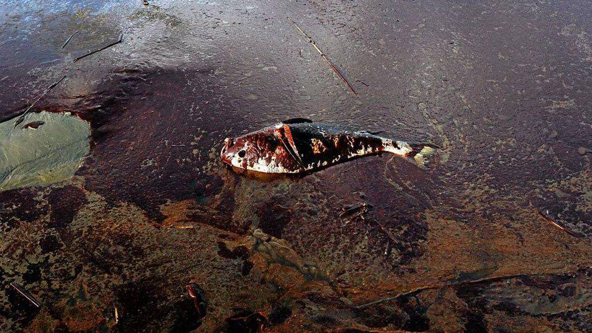 A dead fish coated in heavy oil floats near shore June 4, 2010 near East Grand Terre Island, Louisiana.