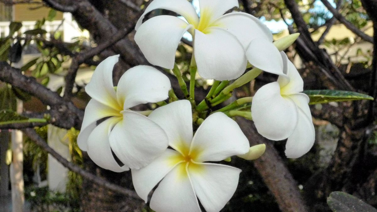 Plumeria, also known as frangipani, is a common flower in the Caribbean island of St. George's. The flowers have a lovely, delicate fragrance.