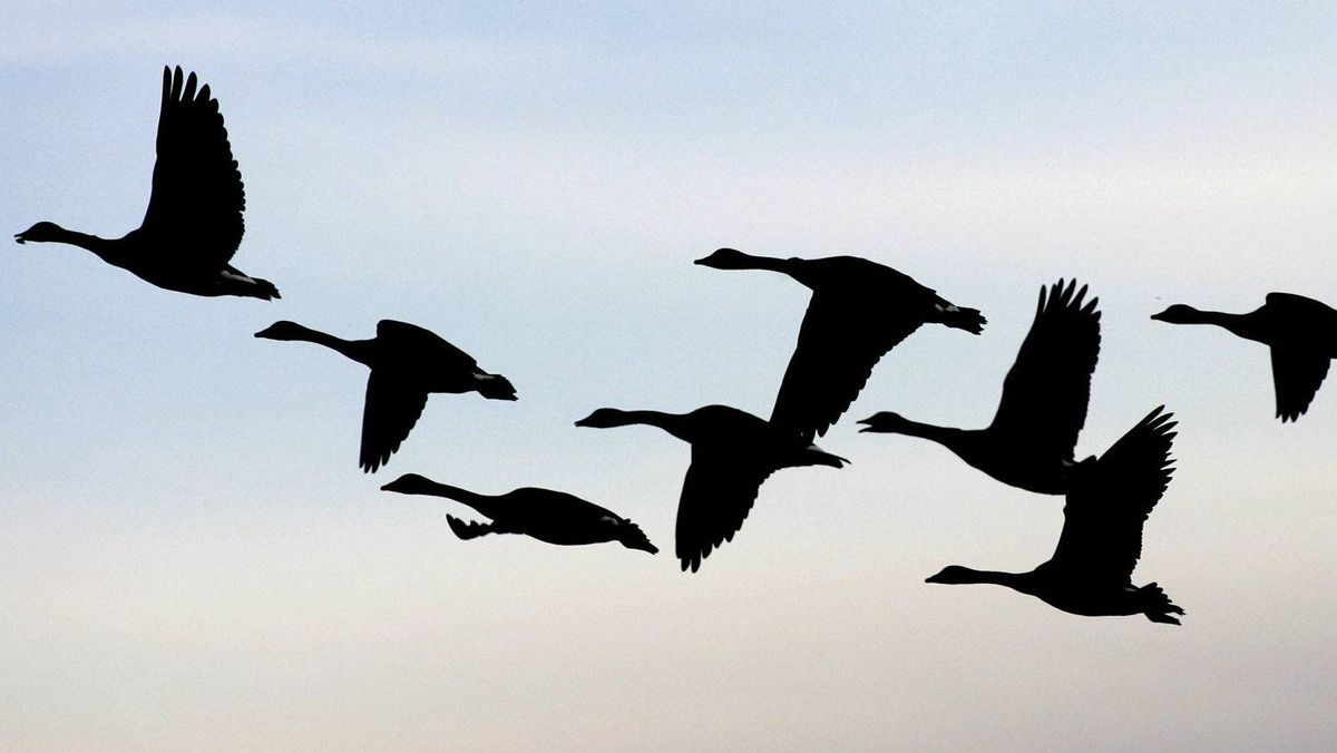 Canada geese takes flight from a farmers field near Oak Hammock, Manitoba in this October 8, 2004 file photo.