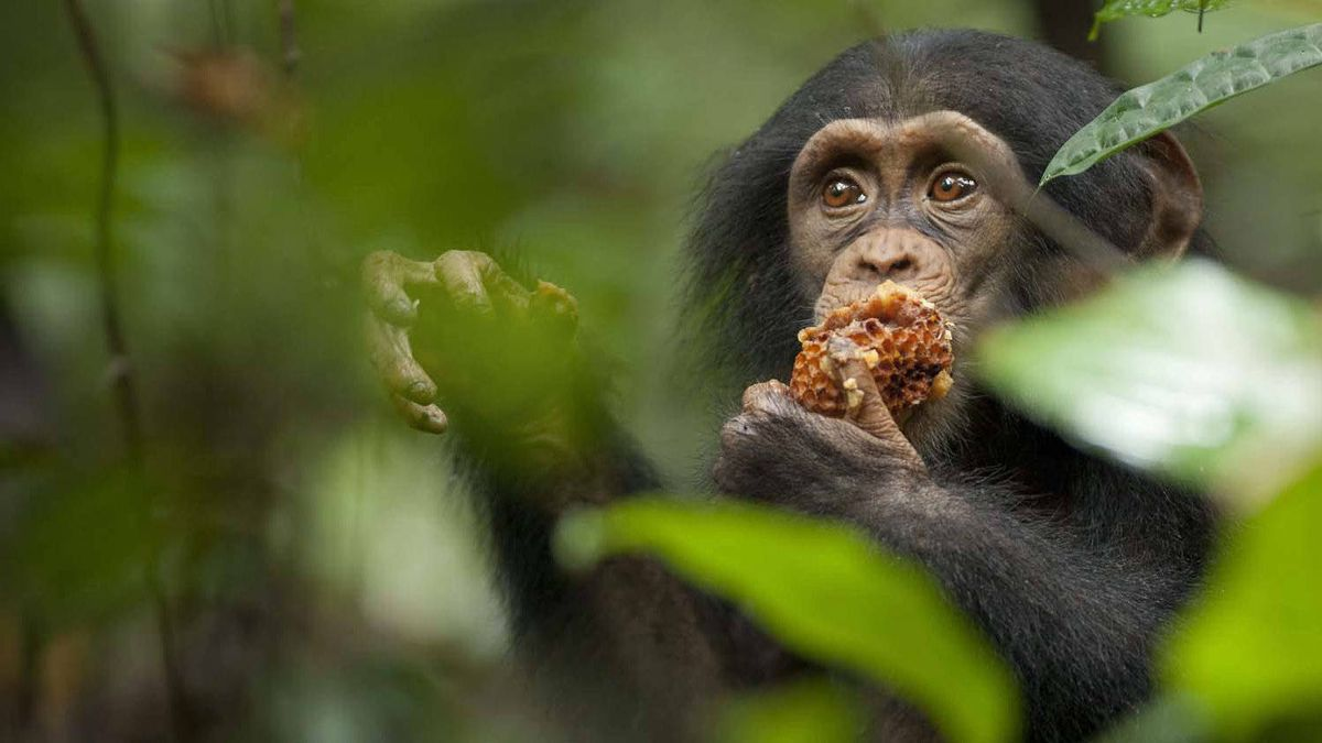 "Oscar eating honeycomb in a scene from Disneynature's ""Chimpanzee"""