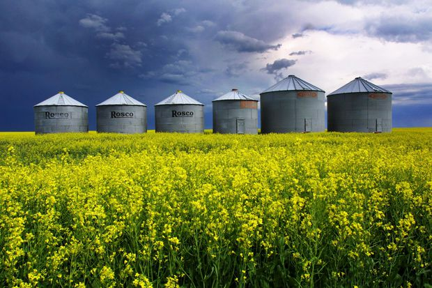 theglobeandmail.com - Nathan VanderKlippe - China ramps up tensions, halts new purchases of all Canadian canola, imposes strict inspections of other agriculture goods