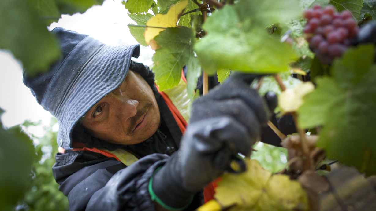 A Mexican migrant worker picks grapes at a vineyard in Okanagan Falls.