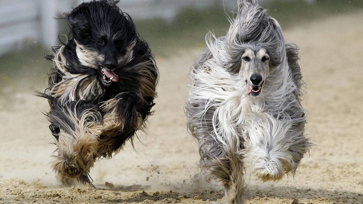 Afghan Hounds race at a dog track near Brands Hatch in Kent, England, Sunday, April 15, 2012. Once a month in the spring and summer the racing track, less than half a mile from the Brands Hatch motor racing circuit and Paralympic cycling venue, hosts Afghan hound enthusiasts who race their dogs. (AP Photo/Kirsty Wigglesworth)