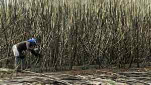 A worker harvests sugar cane at a plantation in Santa Rita do Passa Quatro, about 200-km southeast of Sao Paulo, Brazil.