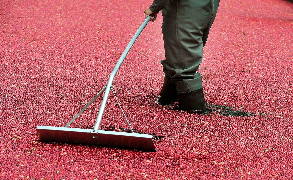 Rockefeller Center is transformed into a 139-square-metre free standing cranberry bog with 907kg of cranberries on October 10, 2009 as Ocean Spray celebrates its 80th anniversary harvest. Ocean Spray is an agricultural cooperative of growers of cranberries and grapefruit in Massachusetts. Ocean Spray was formed in 1930 by three cranberry growers.