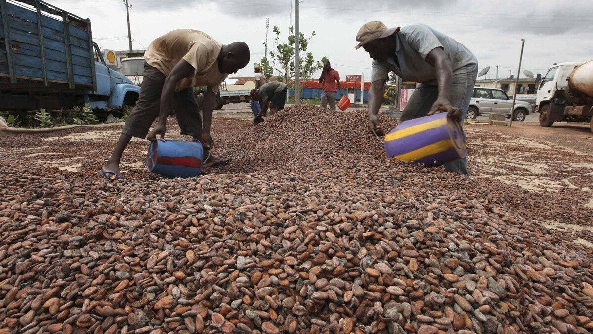 Workers gather cocoa beans in Duekoue May 18, 2011. Ivory Coast's cocoa industry, which feeds some 40 percent of global demand, was badly hit by the country's internal strife, which only eased when forces loyal to Alassane Ouattara, rival to former president Laurent Gbagbo, captured Gbagbo from his home last month, with the help of the French military. EU and U.S. sanctions on Gbagbo and his aides, plus a call for a cocoa ban by Ouattara, effectively shut down exports for three months. The banking system collapsed, leaving cocoa traders with no cash to pay farmers.