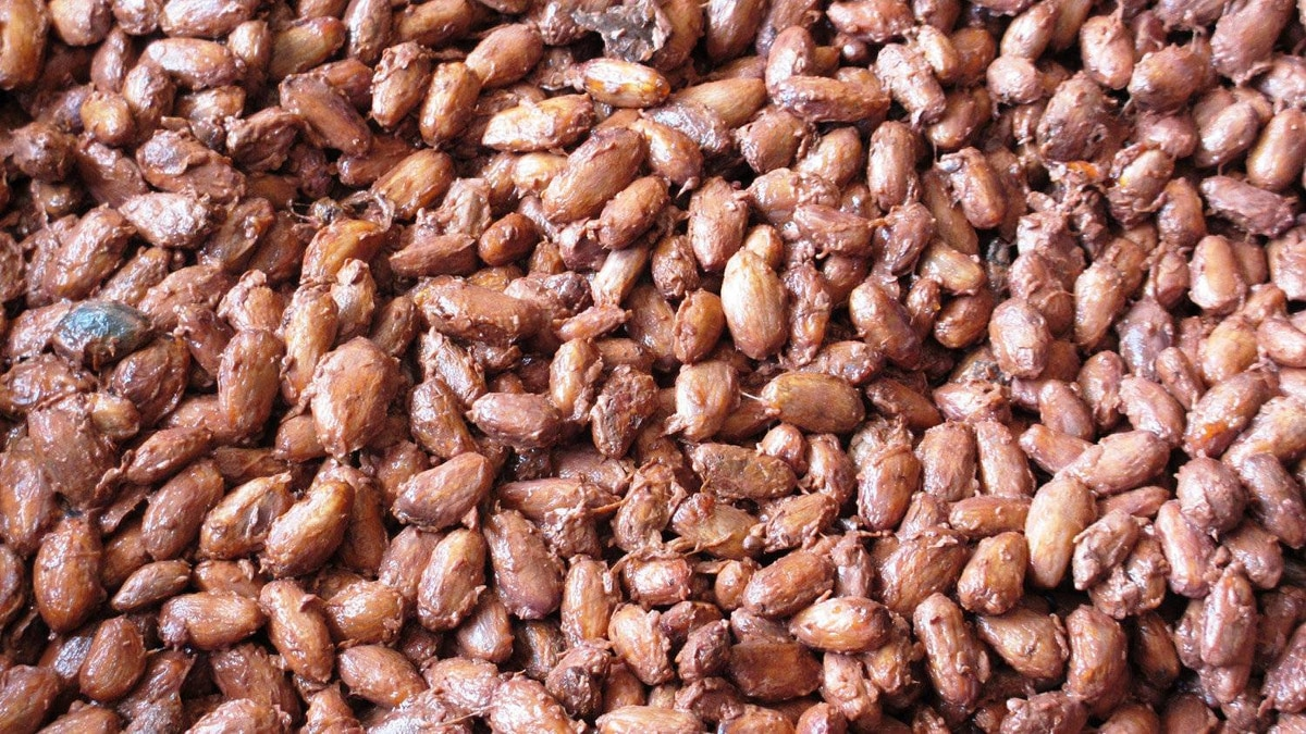 Cocoa beans are shown during the process of fermentation.