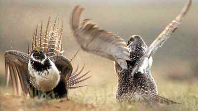 The greater sage grouse is known for the elaborate mating dances that males perform every spring. But conservationists warn the species is on its way to extinction in Alberta because of oil and gas exploration.