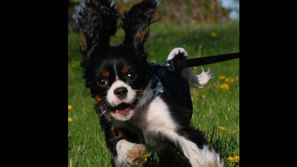 From T.J. Goertz in Toronto: Barksdale is a Cavalier King Charles Spaniel and loving life.