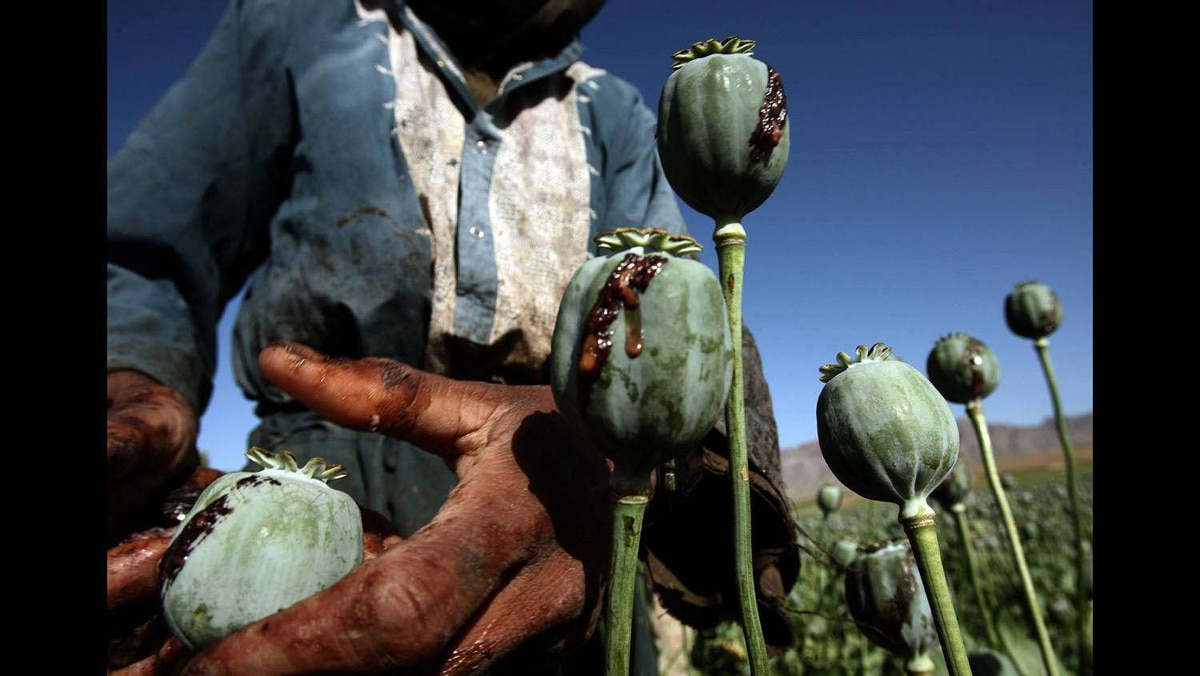 Afghan men harvest opium in a poppy field in a village in the Golestan district of Farah province, May 5, 2009.