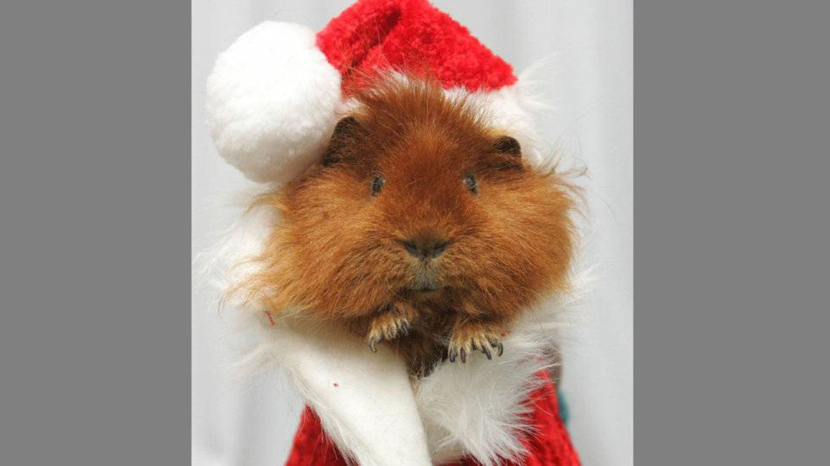 If you ever wondered what Santa would look like as a guinea pig, now you know.