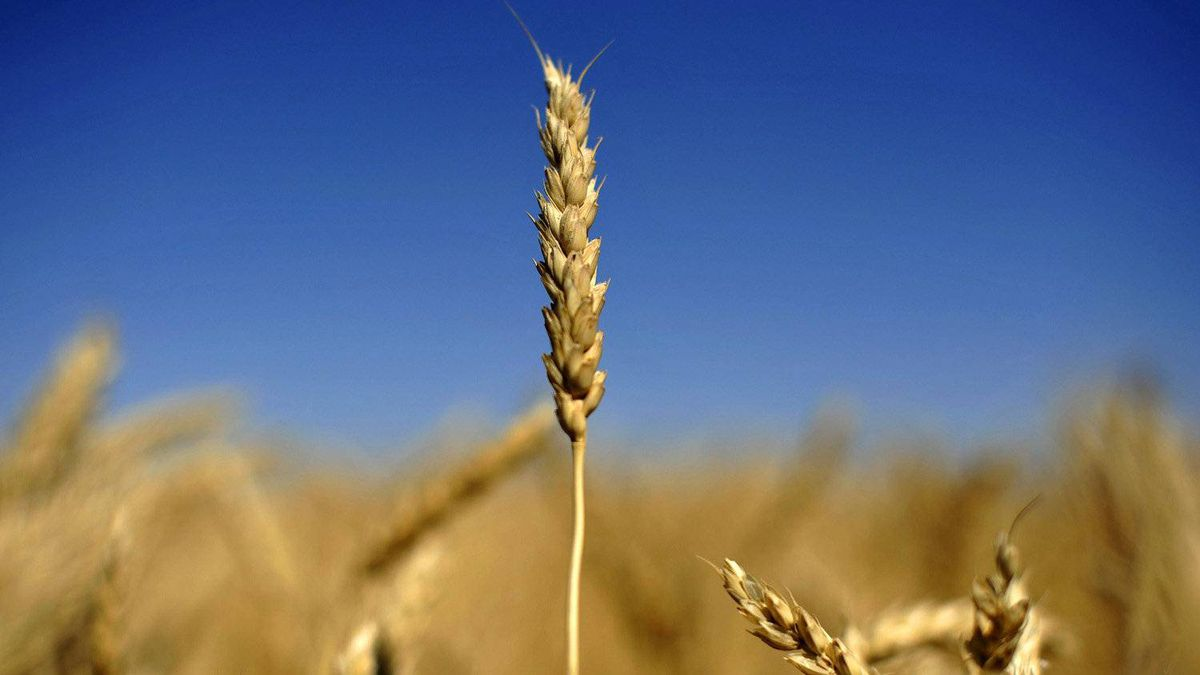 An ear of wheat is seen on the Canadian prairies near Lethbridge, Alberta, Sept. 7, 2011.