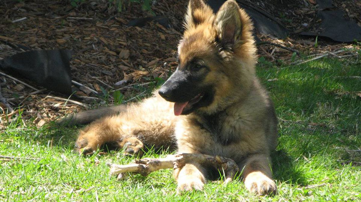 From Pam LeBlanc in Kingston, Ontario: Kora is a 16-week old German Shepherd pup - and is the cutest dog in the world when she's not biting me or chasing the cats.