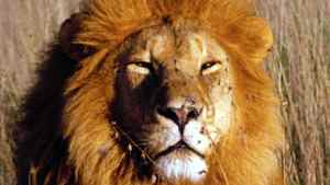 Undated handout photo of a male African lion.