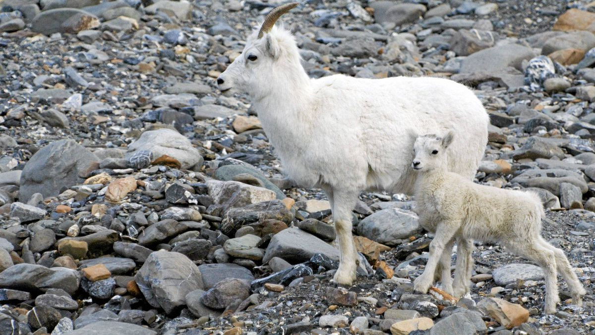 During the summer the Sheep Creek research station is frequented by young Dall's sheep lambs, who stay close to their protective mothers.