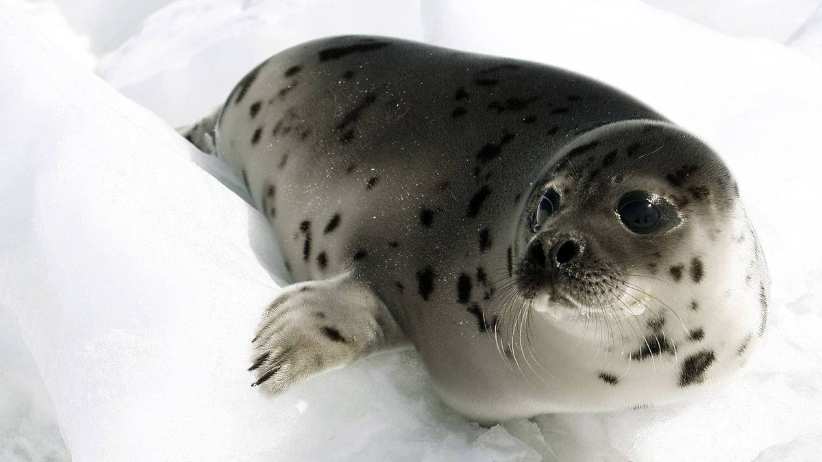 A young harp seal. Today's topics: defending Peyton Manning's $100-million contract; harp-seal science; the Graham James sentence; boobgate ... and more