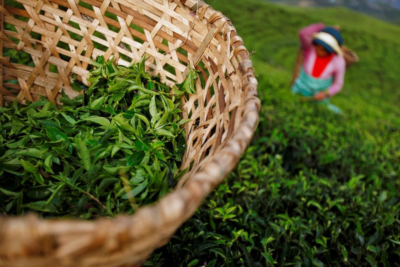 McGill study finds some premium tea bags leach billions of microplastics per cup