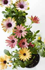 THE FLOWER CHILD Osteospermum, $2.99 at Plant World.