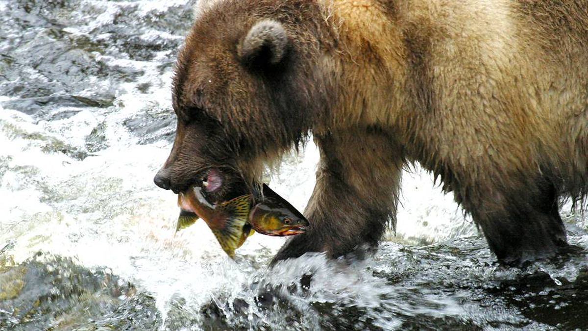 Grizzly bear with a freshly caught pink salmon.