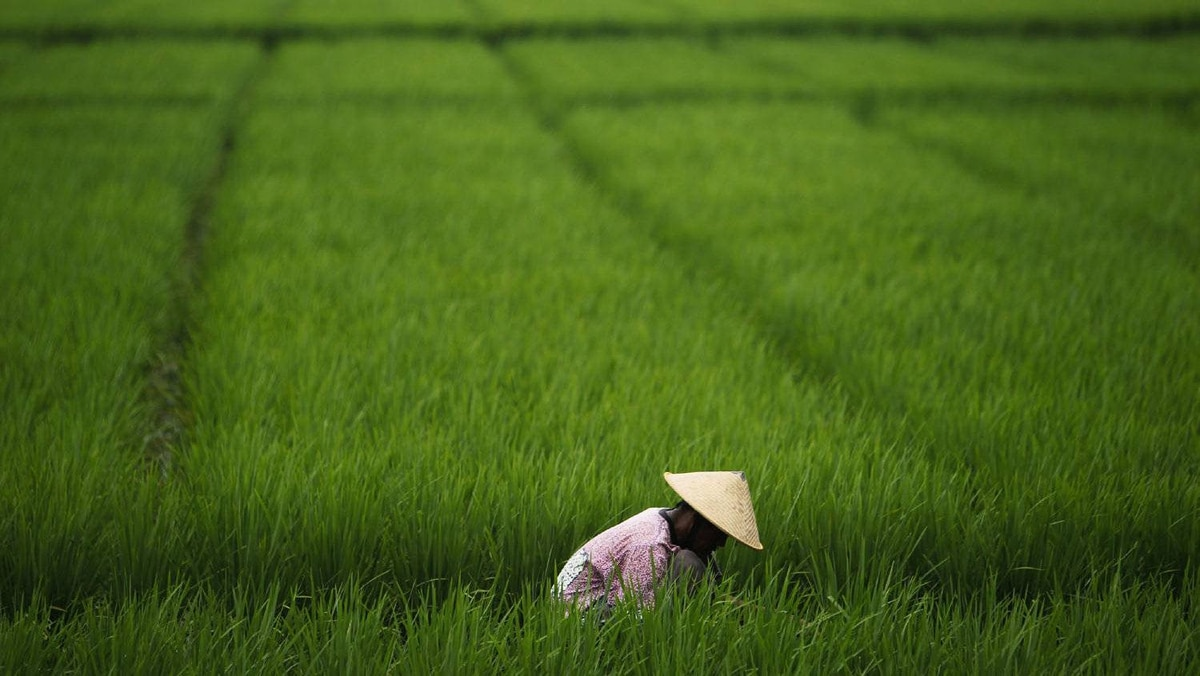 A farmer works in a paddy field in Subang, Indonesia's West Java province on January 20, 2011.