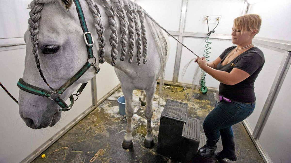 A horse gets its mane braided while being groomed for the show.