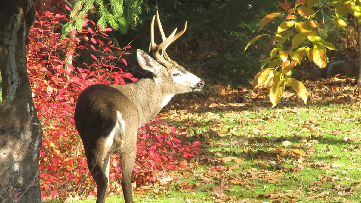 """Stephen McIntyre sent us this photo: """"A handsome buck comes to eat our backyard apples, Langley, B.C."""""""