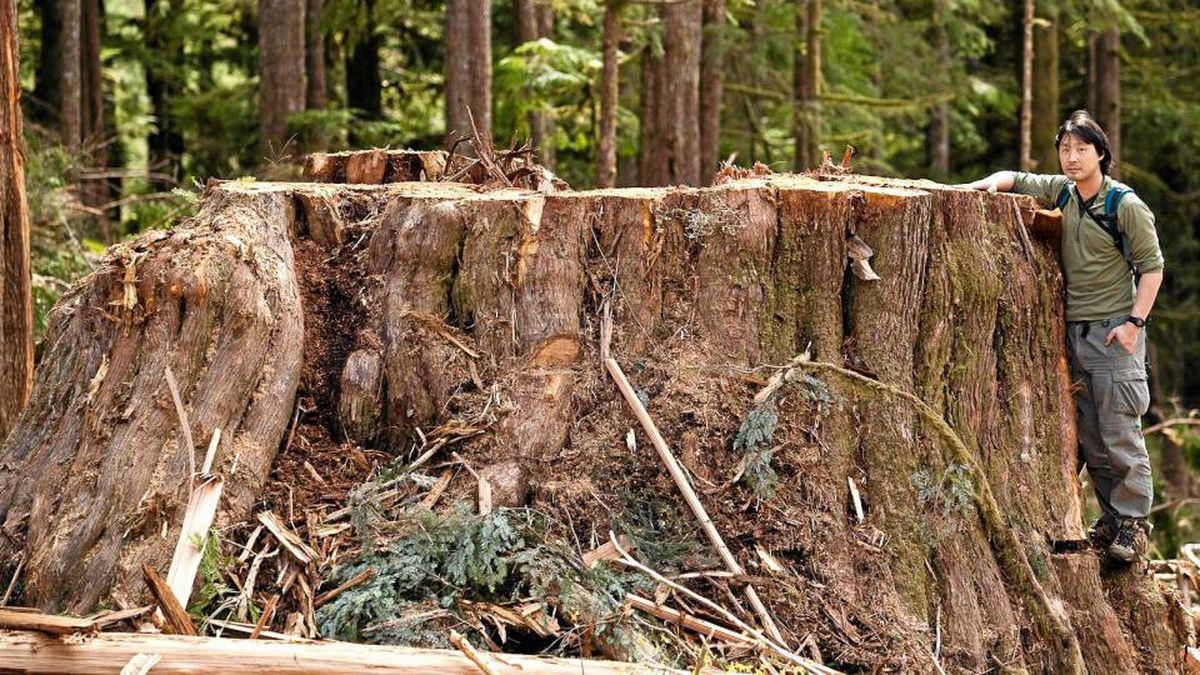A giant stump within a clearcut near Avatar Grove.