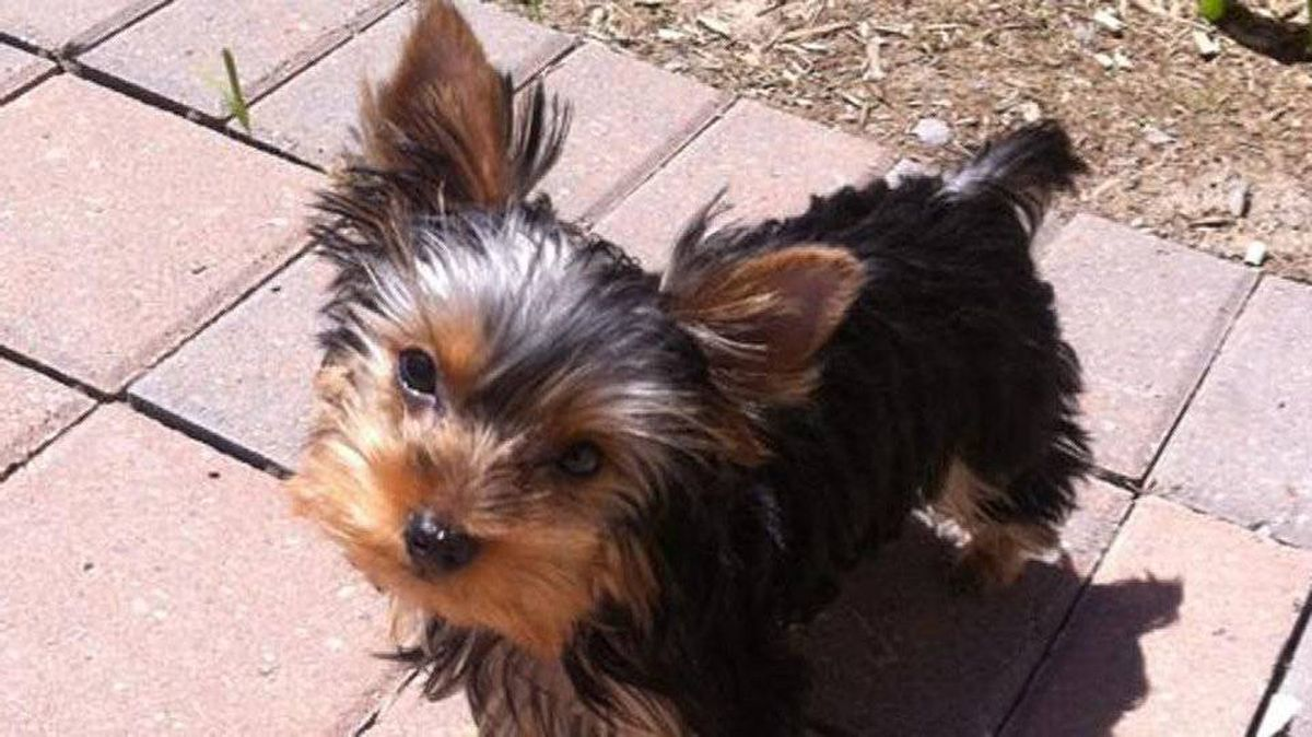 From Natalie Bobyk in Toronto: Move over Sheen, there's a new Charlie in town. I just adopted my first puppy, Charlie - a 4 month and barely 3 pound Yorkie with the sweetest disposition.