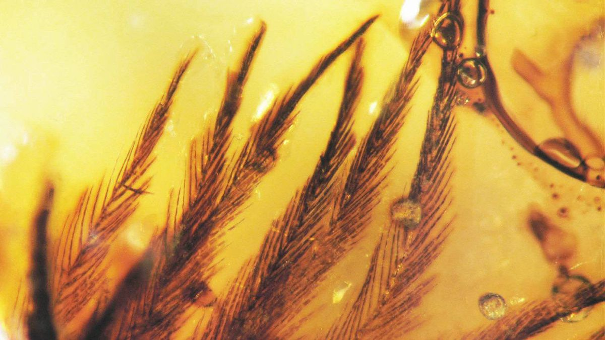 Amber-encased feather specimens, dating back to the Late Cretaceous period, were recently discovered in southeastern Alberta.