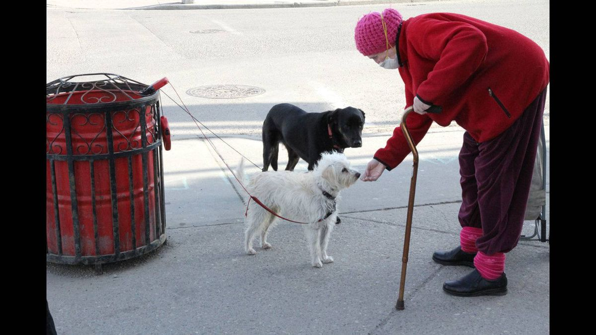 Richard Erlendson photo: Street greeting - An elderly woman stops to pat a couple of friendly dogs waiting for thir owners outside a coffee shop in the popular Kensington district in Calgary, Alberta. Photo taken Saturday, April 30, 2011.