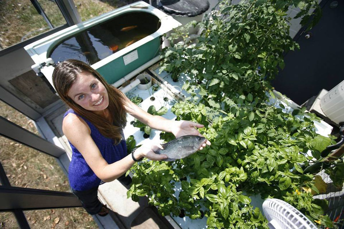 Anne McCarthy, a fisheries and aquaculture technician at Vancouver Island University, holds a tilapia fish grown in an aquaponics project, where fish and plants feed off one another in an integrated recirculating system.