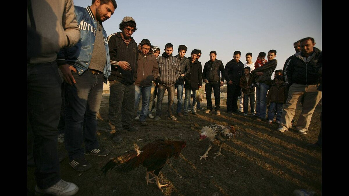 Iranians watch roosters fight in an animal vendors' weekly open air market, in a suburb of Tehran, Iran, on Friday, Dec. 30, 2011.
