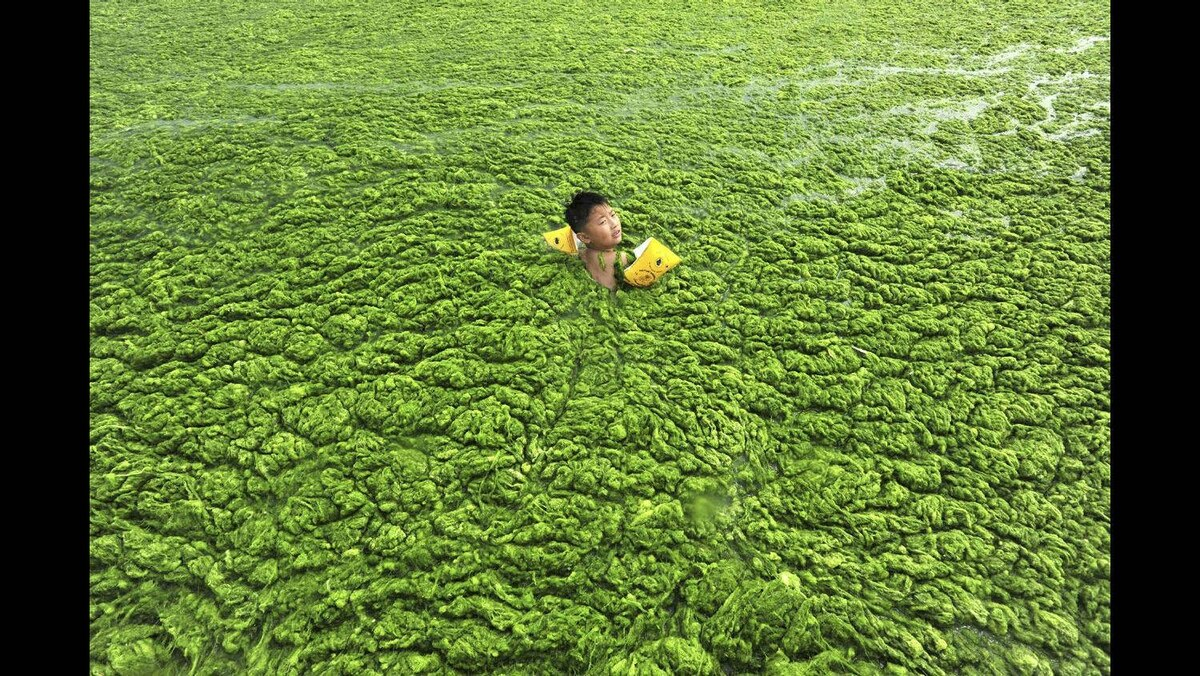 A boy swims along the algae-filled coastline of Qingdao, Shandong province July 15, 2011.