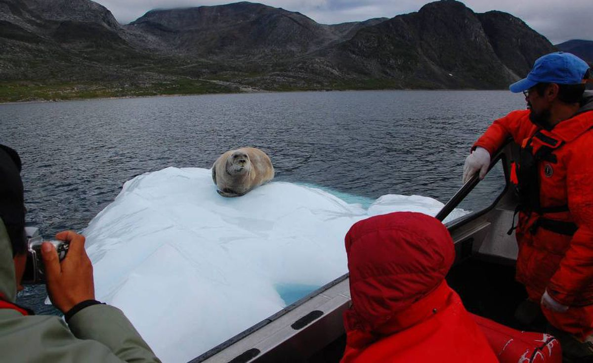 Bearded seal in Sallik Bay, Polar bear monitor John Merkeratsuk at right.
