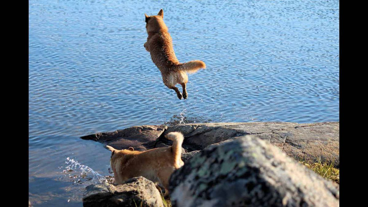 Our pet dog Kai, diving in near Iqaluit