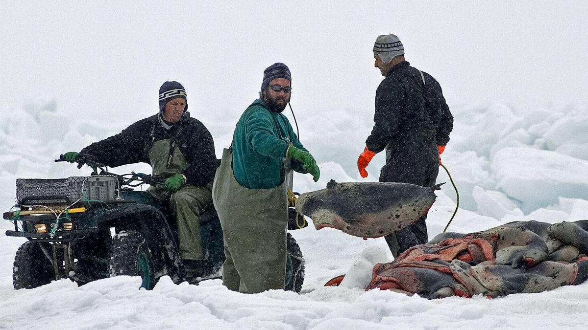 Hunters gather pelts as the annual East Coast seal hunt starts in the Gulf of St. Lawrence on March 23, 2009.