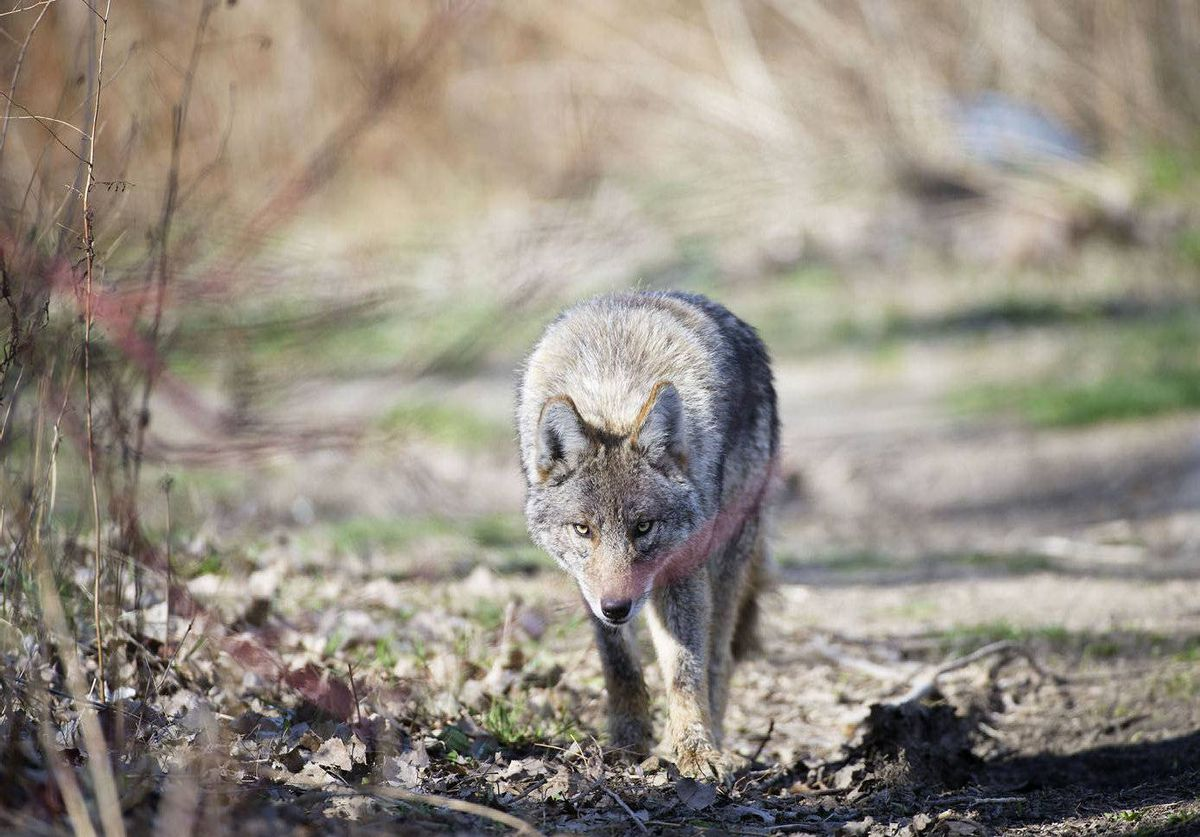 A coyote is seen at Cherry Beach in Toronto, Ont.