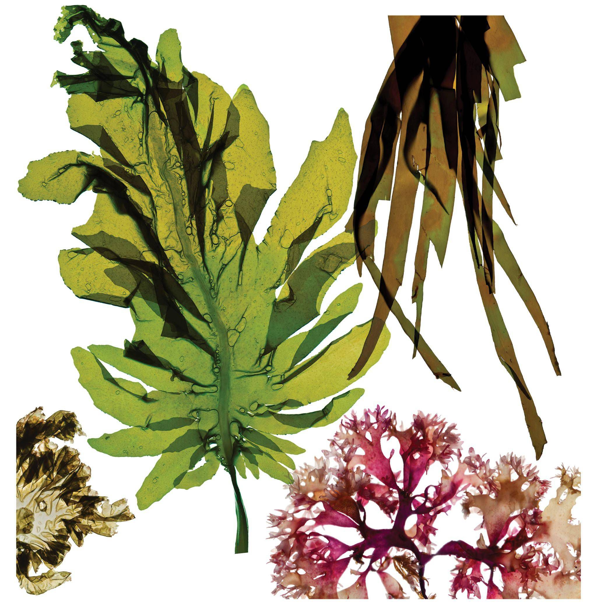 Eat seaweed for the health benefits but don t overdo it The