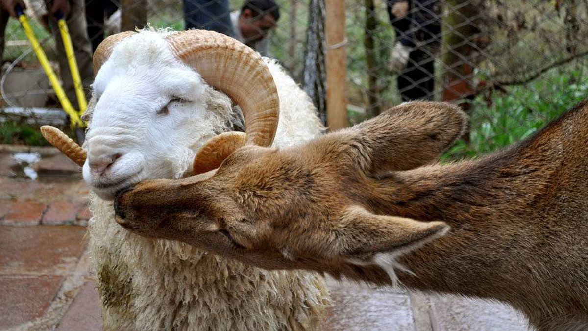 A ram named Changmao has formed a bond with a female deer named Chunzi at the Yunnan Wild Animal in China.