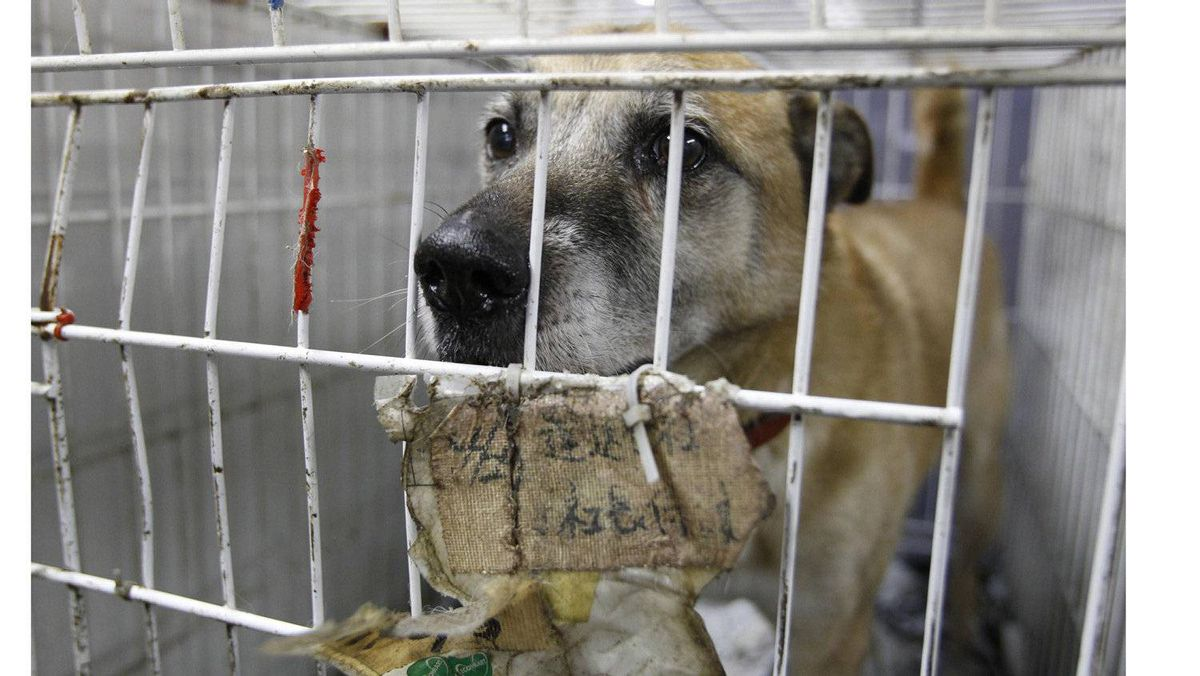 A dog, which was rescued by United Kennel Club Japan (UKC Japan) from inside the exclusion zone, is seen inside a cage at the group's pet shelter in Samukawa town, Kanagawa prefecture.