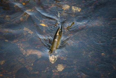 Millions of B.C. salmon mysteriously 'just disappear' in troubling year