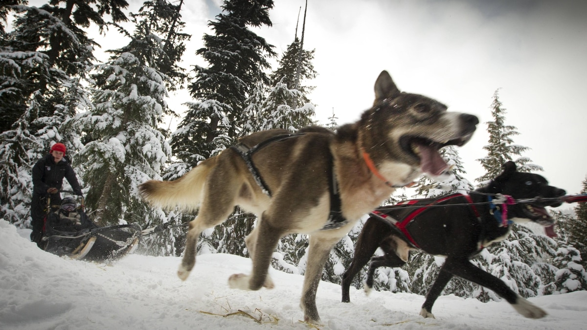 A team of dogs from Canadian Sled Dog Adventures makes their way along a Calan Valley trail near Whistler.