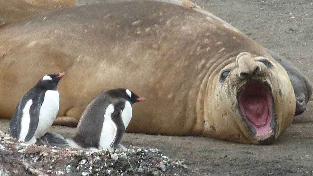 From Kathryn Ezra, New York: In Antarctica: An elephant seal yawns as gentoo penguins watch over their chicks.