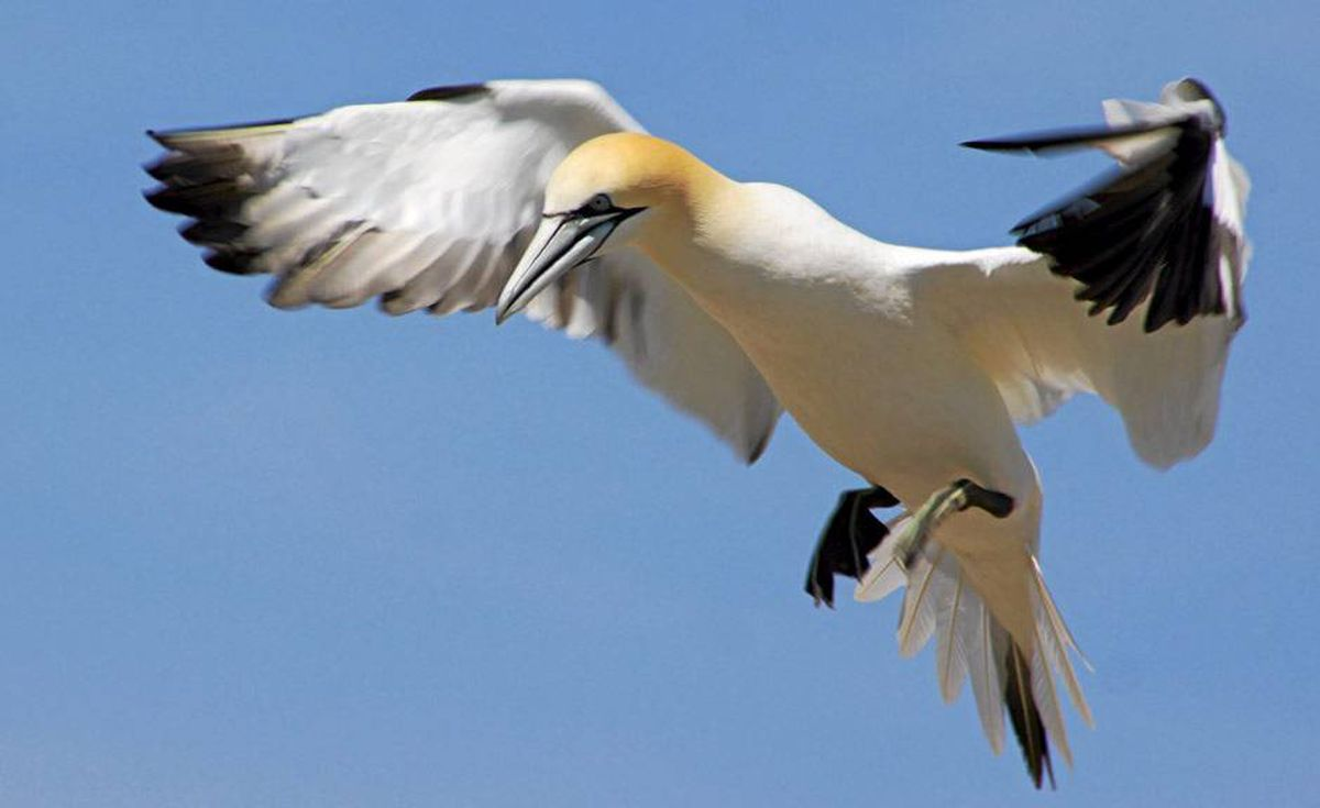 When the adult gannets now nesting in Canada fly south in October, they may encounter oil.
