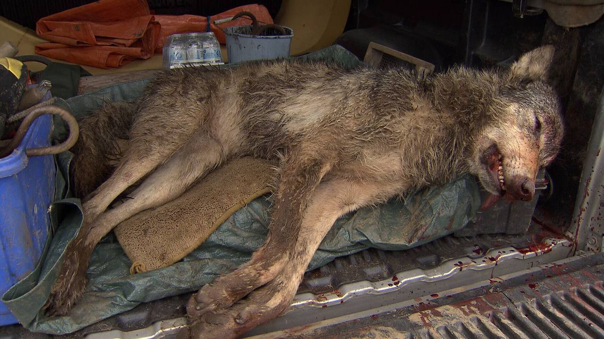 The wolf-dog shot and killed by a trapper on Bowen Island, B.C. on Thursday May 26, 2011.