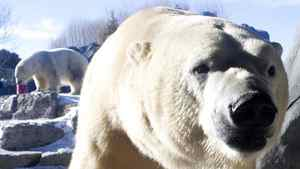A polar bear receives it's Christmas treat at Toronto Zoo on Sunday December 26, 2010. Toronto Zoo announced Wednesdaythat one of their two, 10 year old female polar bears, Aurora, gave birth to three cubs overnight.