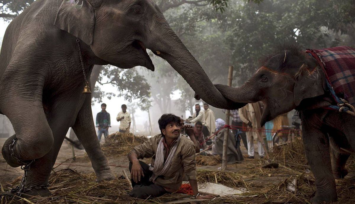 An Indian mahout watches as seven-year old female elephant Laxmi reaches with her trunk to touch her daughter 13-month old baby elephant Rani at the Sonepur Fair, in Sonepur, Bihar, near Patna, India, Tuesday, Nov. 15, 2011. The fair, which is held annually, was originally a cattle and animal market where traders bought and sold livestock on the holy river Ganges. (AP Photo/Kevin Frayer)